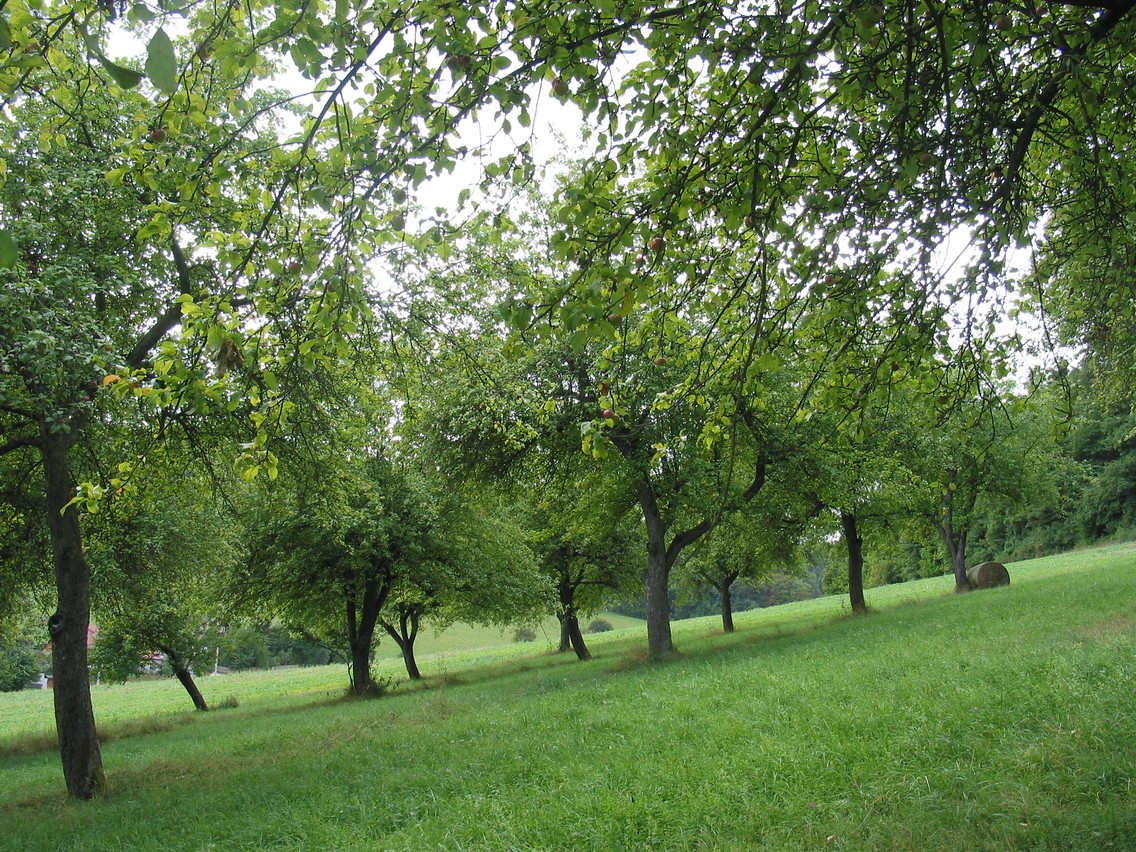 Streuobstwiese bei Keilhau (Die Agrargenossenschaft Königsee erntet das Obst von eigenen Streuobstwiesen und nutzt die Mobile Saftpresse zur Saftherstellung. Der Apfelsaft wird auf dem Ferienhof Domäne Groschwitz konsumiert und auch verkauft. )